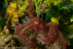 BD-161103-Alor-4637-Oncinopus-sp.-De-Haan.-1839-[Decorator-crab].jpg